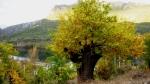 Bosque de castaños (Covas)