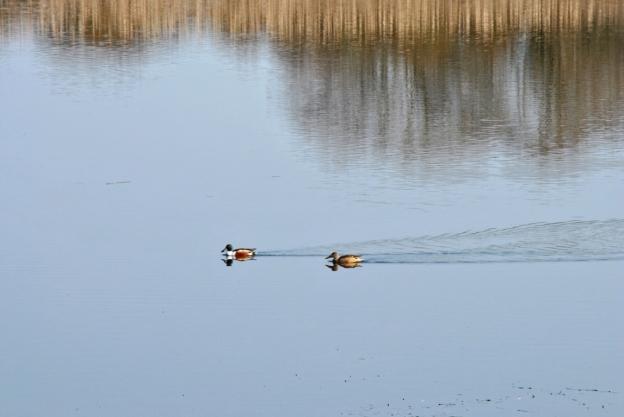 Avifauna Lagoa de Cospeito